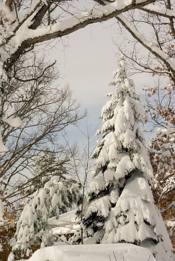 покрытый вечнозеленый снежок стоковые изображения