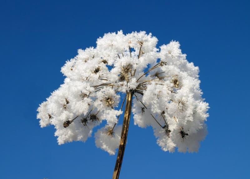 покрытый льдед цветка стоковое изображение