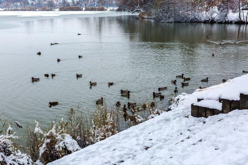 Покрытый снегом берег озера Стадо диких уток, мужчины и женщины, заплыва в озере зимы Озеро сол, Nyiregyhaza, Венгрия стоковое фото
