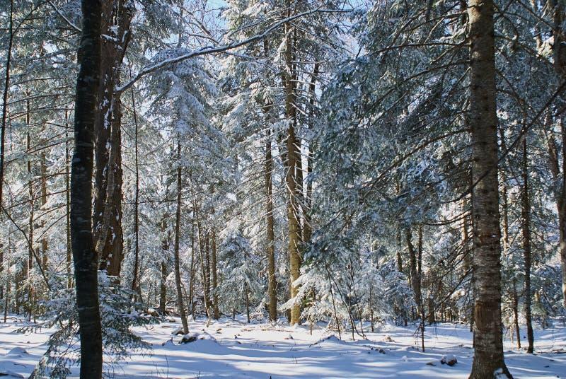 покрытый Снег лес в котором лучи падения солнца зимы Lago-Naki, главный кавказец Ридж стоковое изображение rf