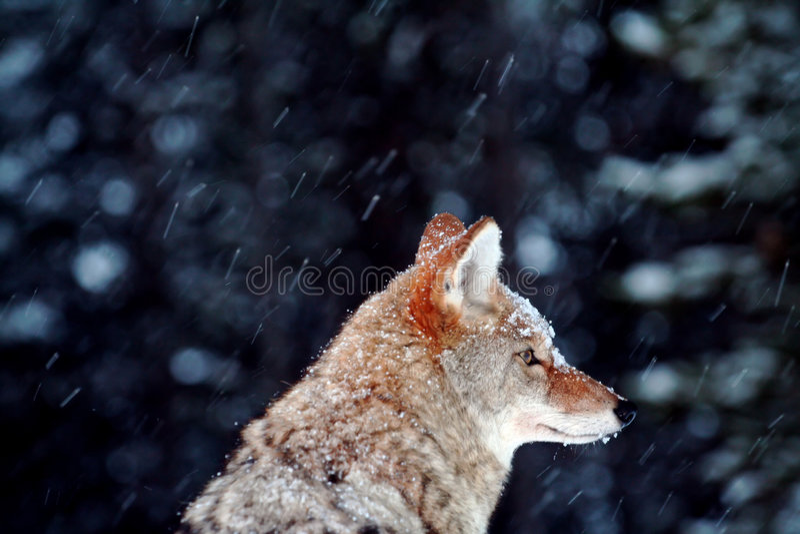 покрытый снежок койота стоковое изображение rf