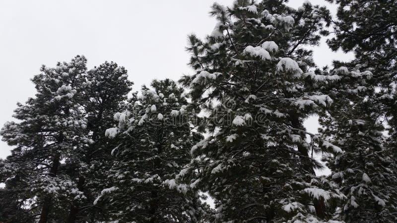 покрытый снежок сосенок стоковые изображения rf