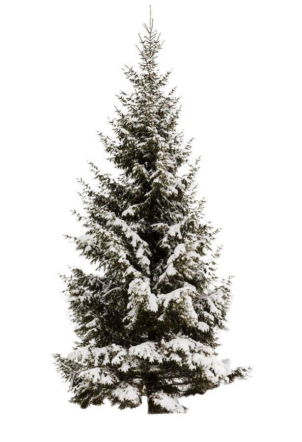 покрытый спрус снежка Отсутствие предпосылки, изолированного объекта evergreen Элемент для конструкции стоковое фото