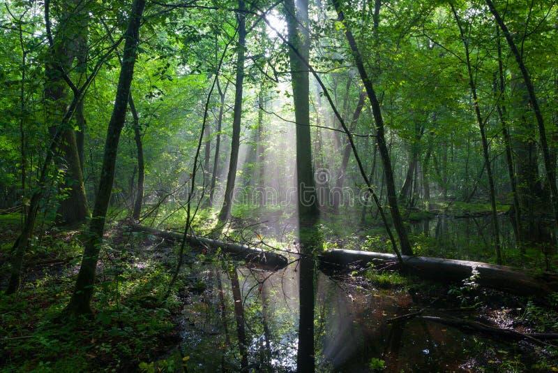 Полдень лета при свет входя в богатую лиственную стойку стоковое изображение