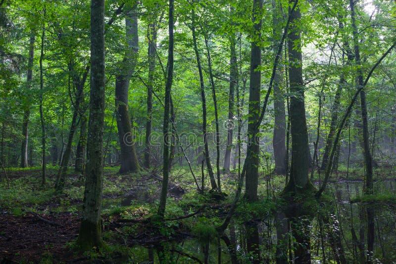 Полдень лета при свет входя в богатую лиственную стойку стоковое фото rf