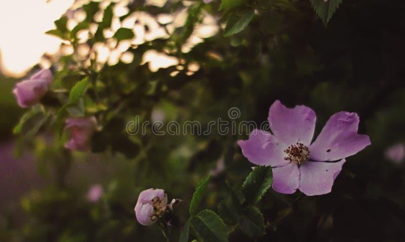 Полевой цветок в заходе солнца стоковое изображение rf