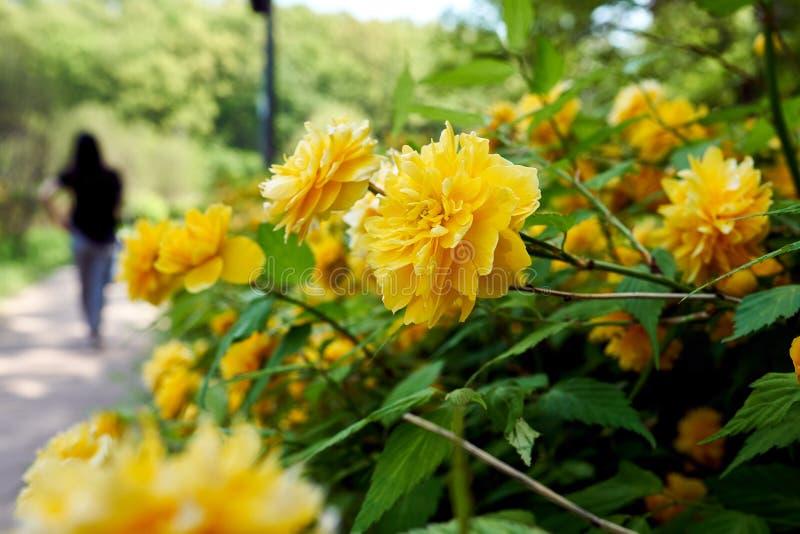 Полевой цветок зацветая на тротуаре в парке озера Gwankyo, Южной Корее стоковое изображение