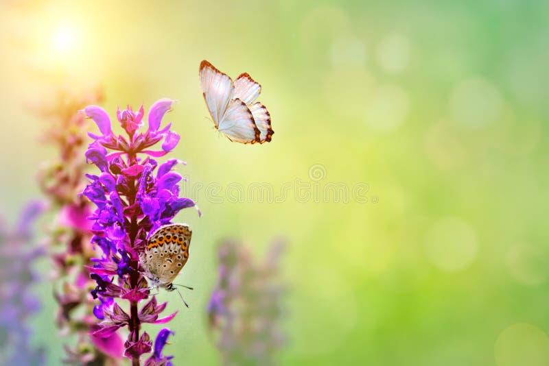 Полевые цветки клевера и бабочки в луге в природе в лучах солнечного света в конце-вверх лета весной макроса A стоковые фотографии rf
