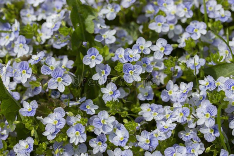 Полевые цветки незабудки нежные голубые пурпурные белые обои предпосылки Группа в составе незабудки в природе, много маленький стоковое фото rf