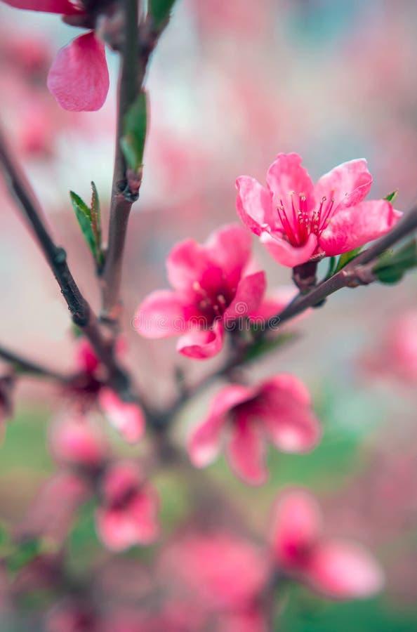 Полевые цветки Сакура куст стоковые изображения rf