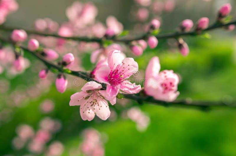 Полевые цветки Сакура куст на suntet стоковые фотографии rf