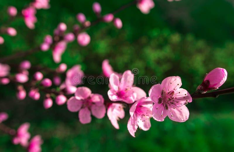 Полевые цветки Сакура куст стоковые изображения
