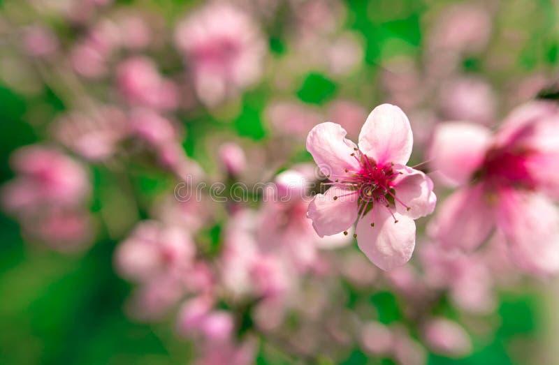 Полевые цветки Сакура куст стоковая фотография rf