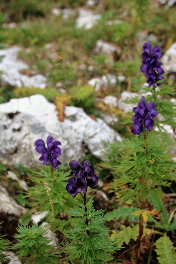 Полевые цветки ` s доломита фиолетовые - аконит стоковая фотография