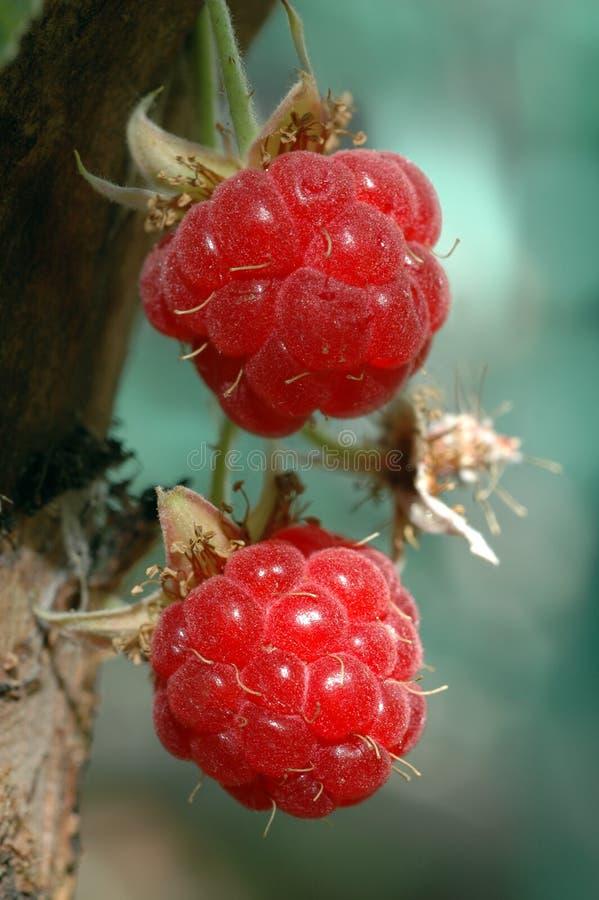 поленика ягоды близкая вверх стоковое фото rf