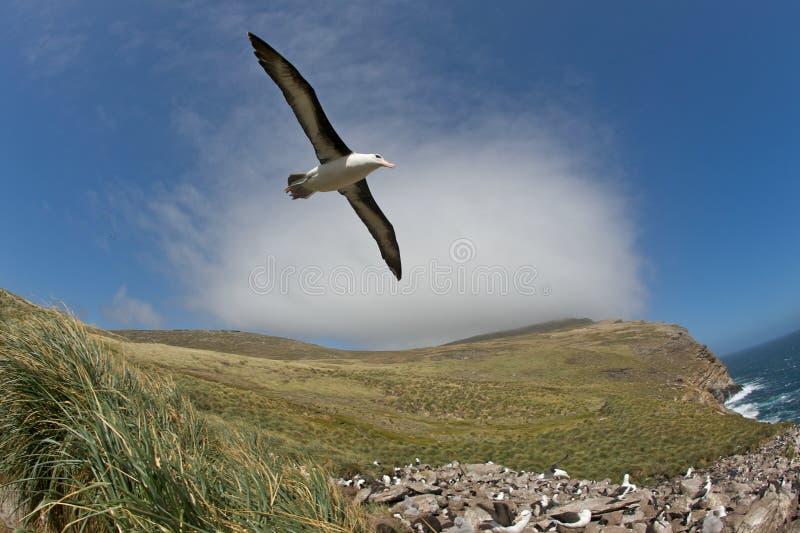 полет альбатроса стоковое фото