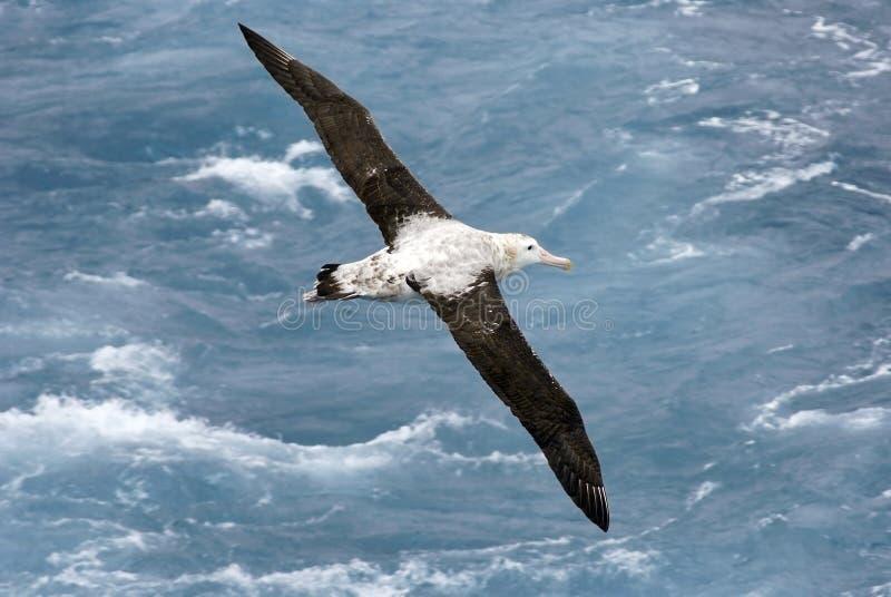 полет альбатроса стоковые изображения rf