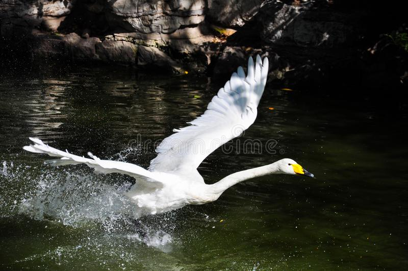 Полет в лебедь стоковое фото rf