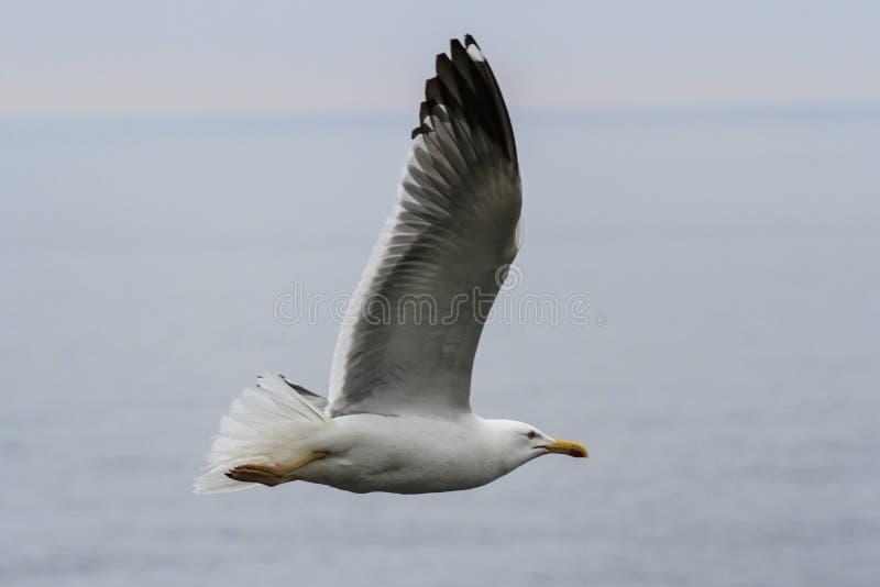 Полет чайки делая поворот стоковая фотография rf