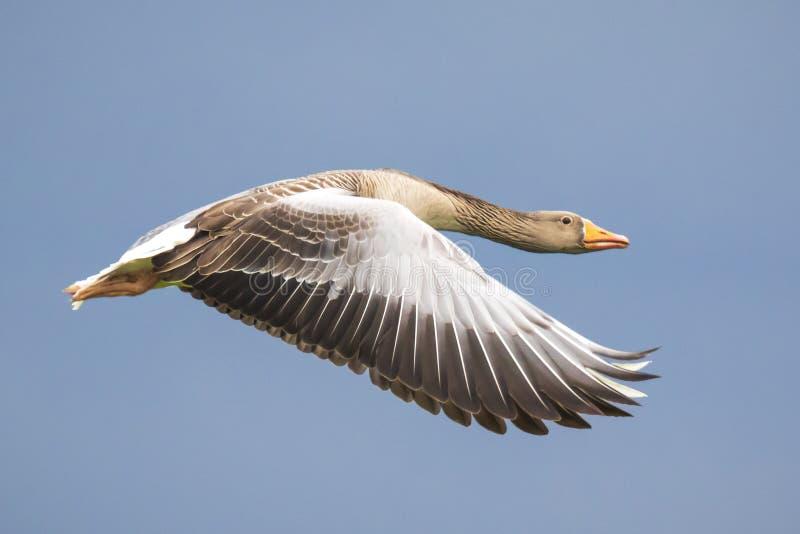 Полет Anser Anser гусыни Greylag стоковая фотография