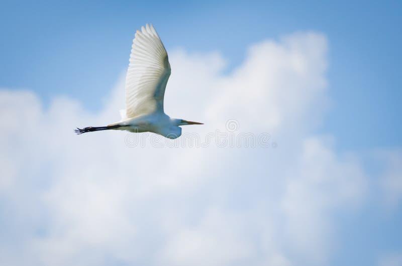 полет egret большой стоковые фото