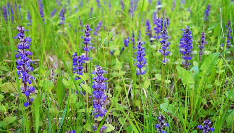 Поле весны с фиолетовыми цветками на красивом дне стоковое фото rf