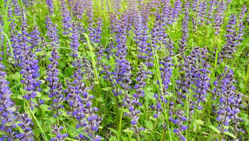 Поле весны, фиолетовые цветки на красивом дне стоковые изображения
