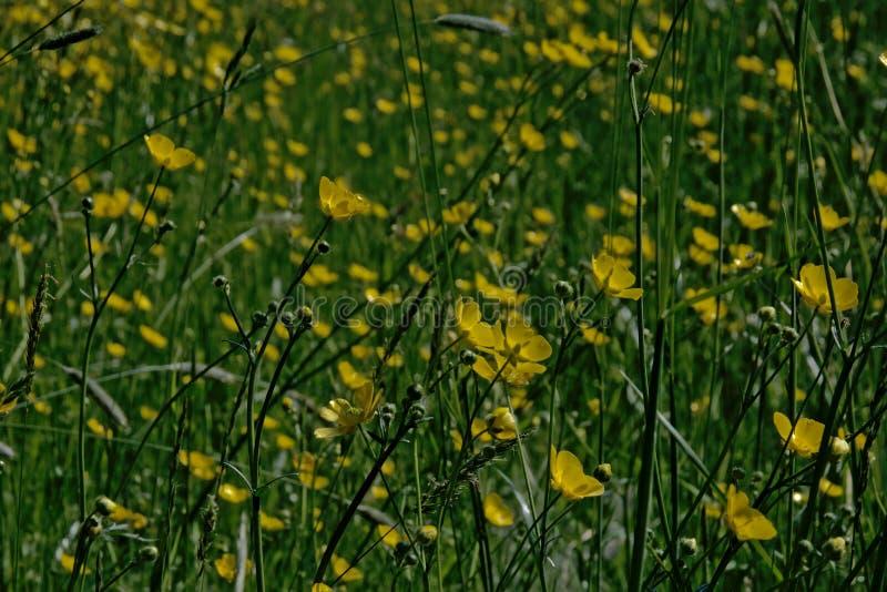 Поле вполне ярких желтых цветков лютика стоковые фото