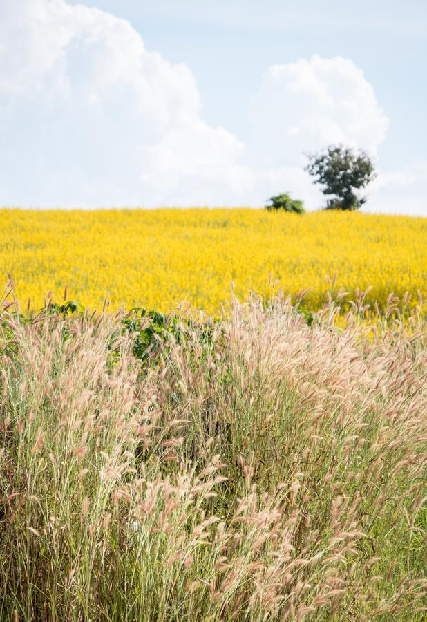 Поле дикой травы перед полем juncea Crotalaria sunhemp стоковая фотография rf