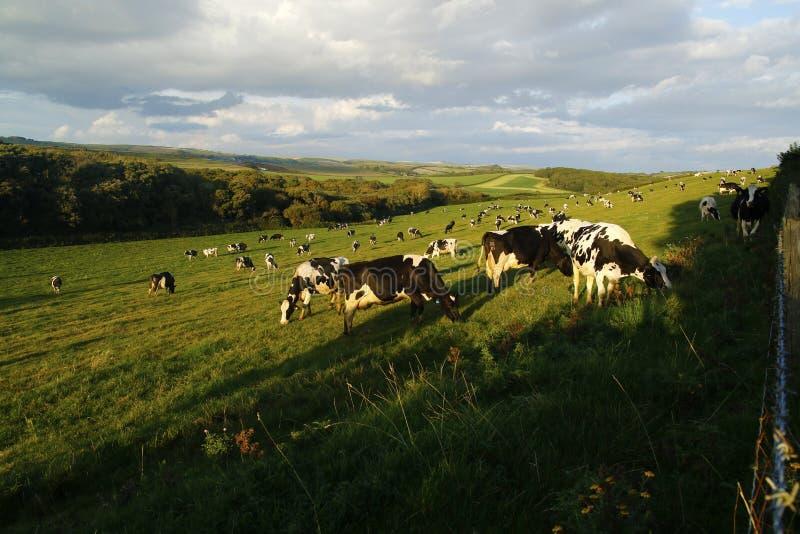 Поле доя коров стоковые фотографии rf