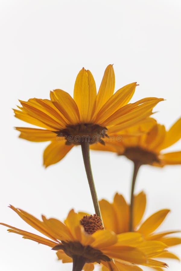Поле желтого стоцвета в свете солнца Предпосылка маргариток Beautif стоковые изображения rf