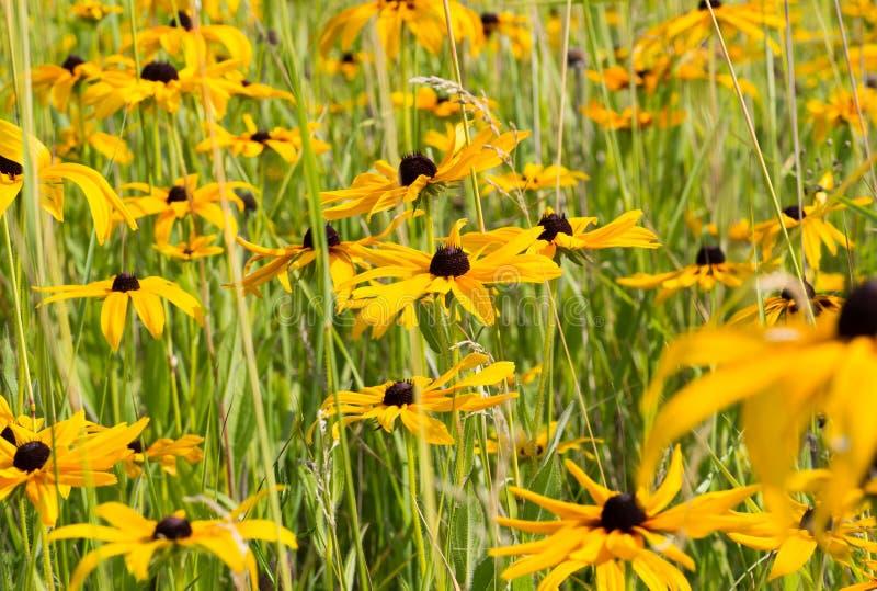 Поле желтой черноты Rudbeckia наблюдало цветок Сьюзана стоковые изображения rf