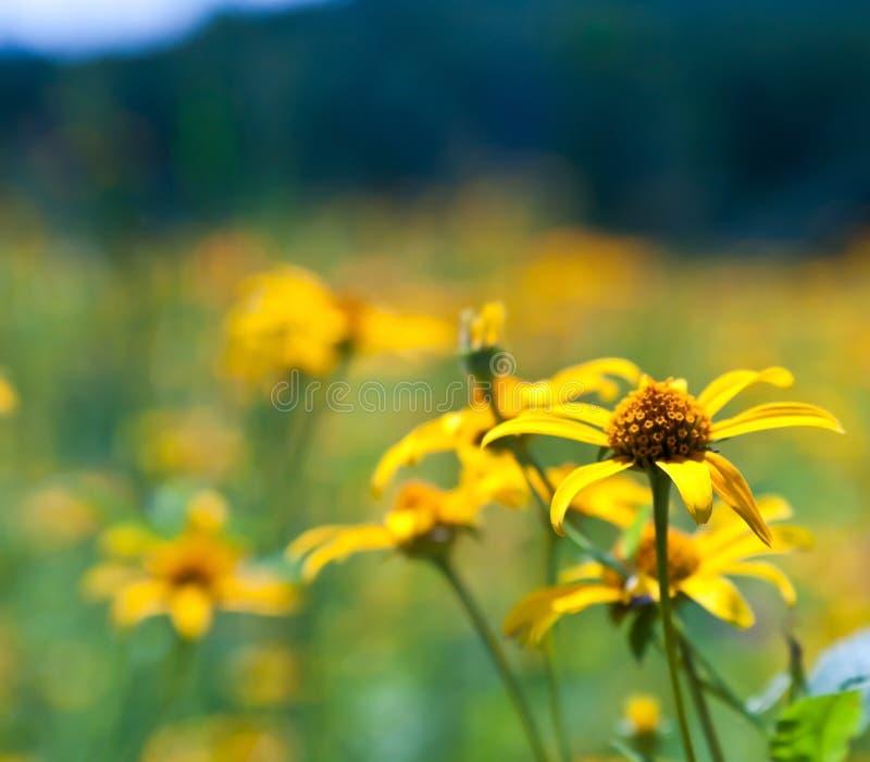Поле желтых полевых цветков стоковое фото rf