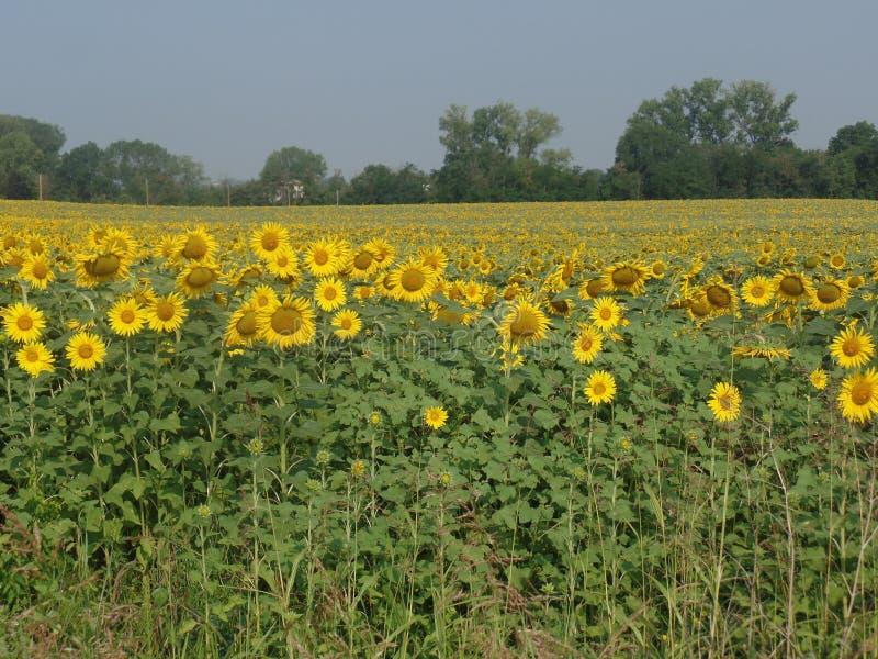 Поле желтых солнцецветов стоковые фото
