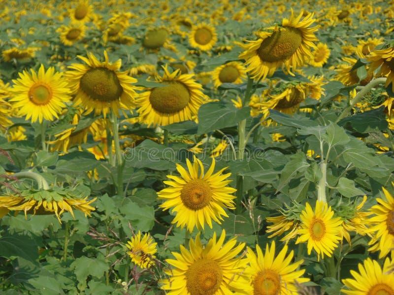 Поле желтых солнцецветов стоковое изображение