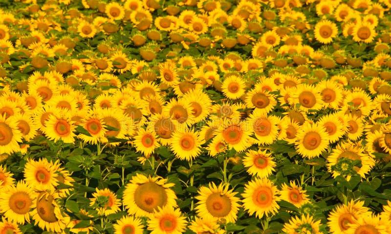 Поле желтых солнцецветов. стоковые фото