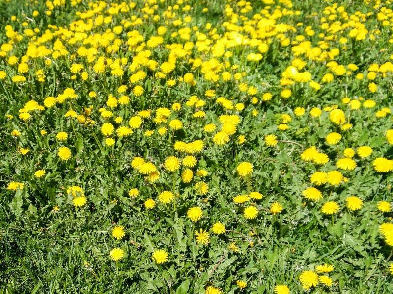 Поле желтых цветов стоковое фото