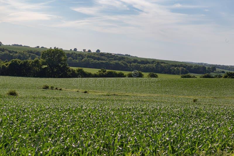 Поле завальцовки молодого кукурузного поля где-то в Омахе Небраске стоковые фотографии rf