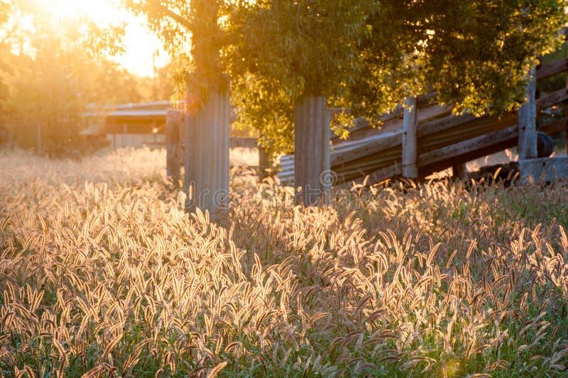 Поле задней освещенной травы кабеля лисы постоянной накаляя от солнечного света в paddock стоковое фото