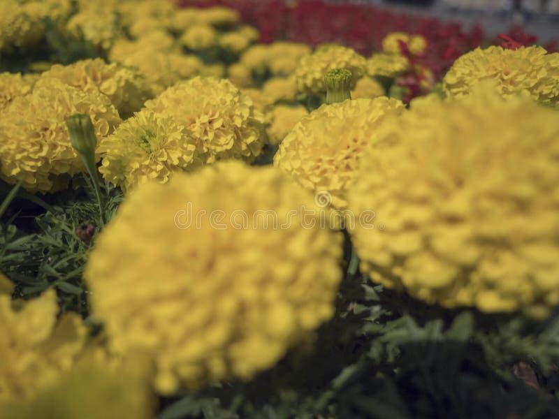 Поле зацветая желтых цветков на заходе солнца предпосылки стоковое фото rf