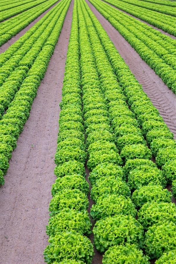 Поле зеленого салата в интенсивном острословии культивирования овоща стоковые изображения