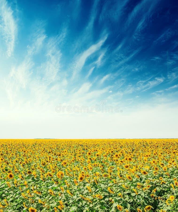 Поле земледелия с солнцецветами и голубым небом с облаками стоковые изображения
