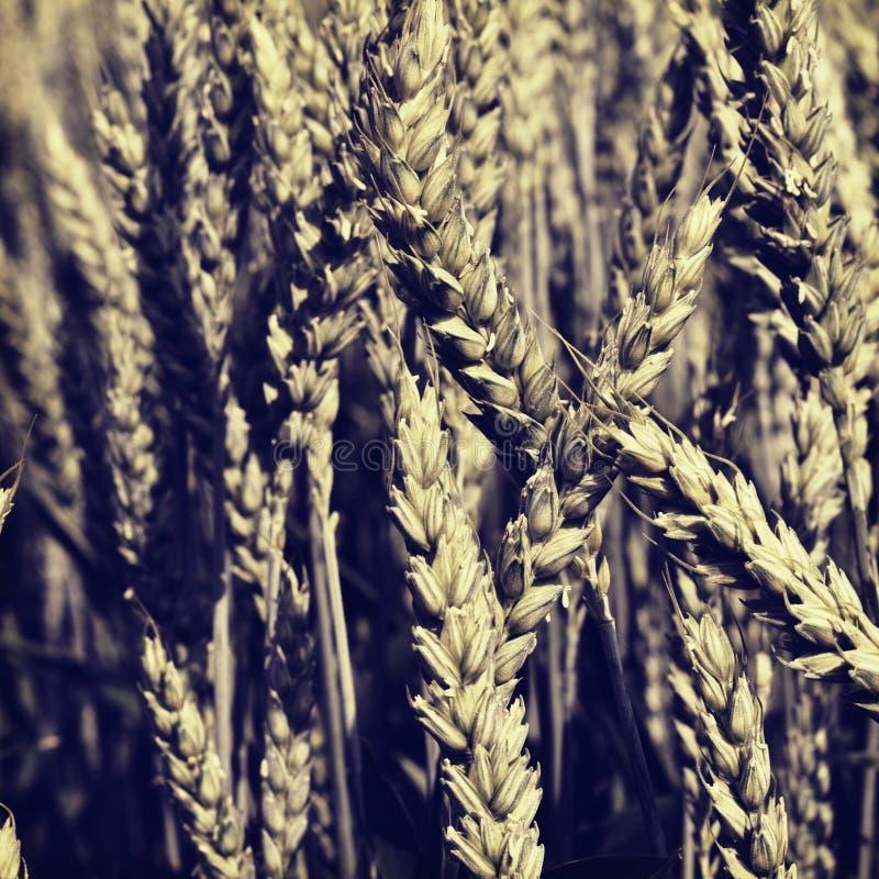 Поле зерна стоковые фотографии rf