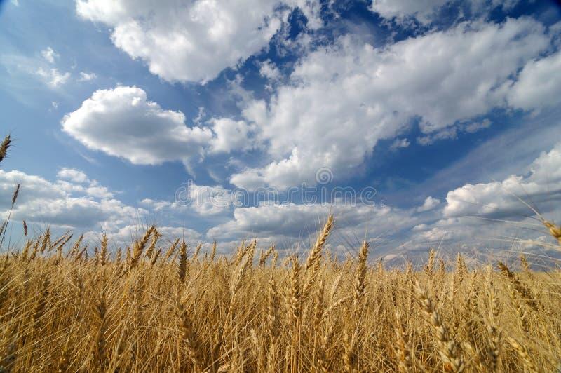 поле золотистое стоковое фото rf