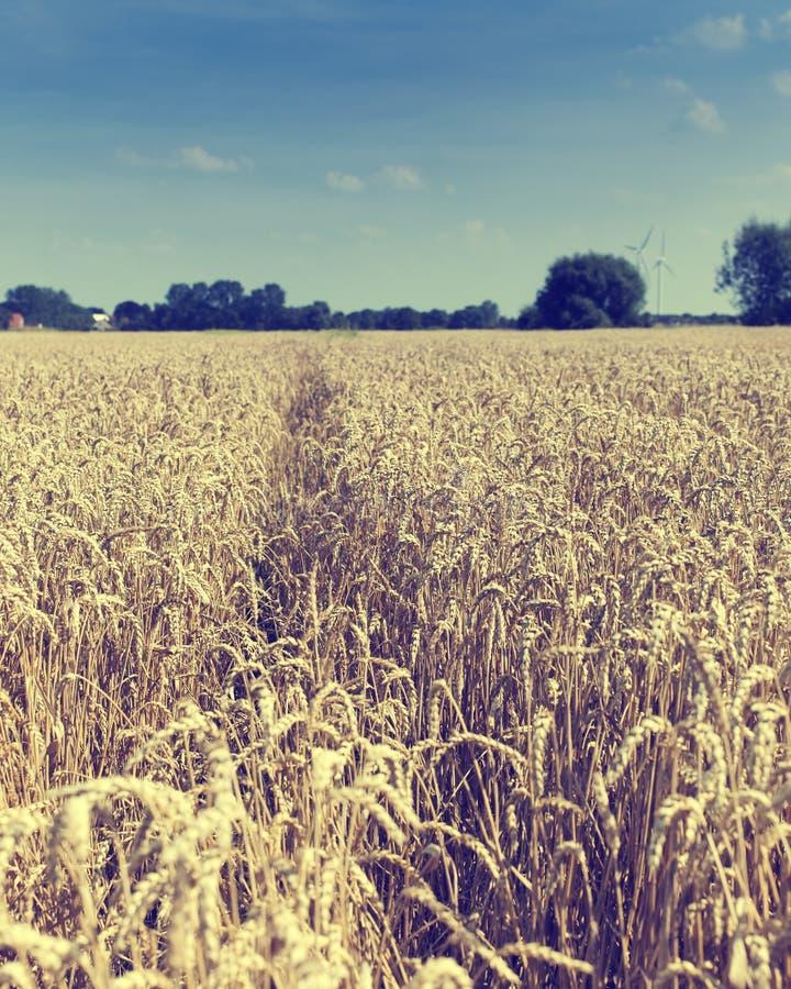 Поле золотистой зрелой пшеницы стоковые фотографии rf