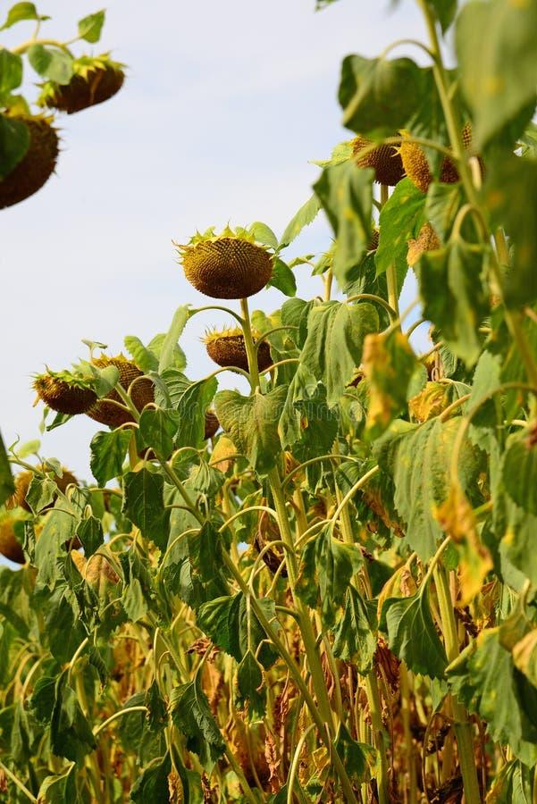 Поле зрелого солнцецвета в августе в России Нижний взгляд стоковые изображения