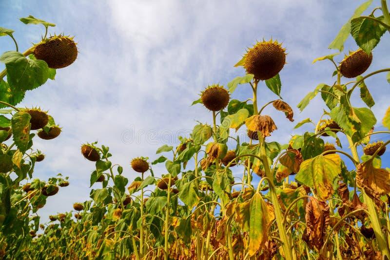Поле зрелого солнцецвета в августе в России Нижний взгляд стоковое фото