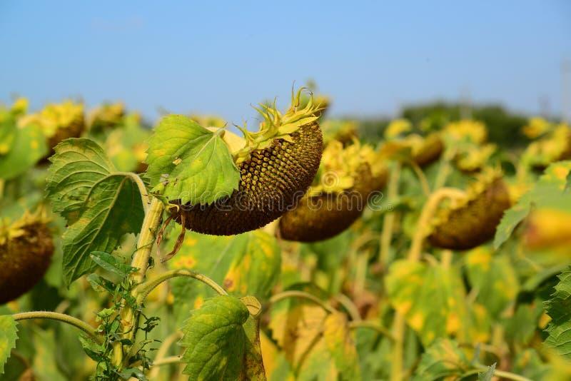 Поле зрелого солнцецвета в августе в России стоковое изображение rf