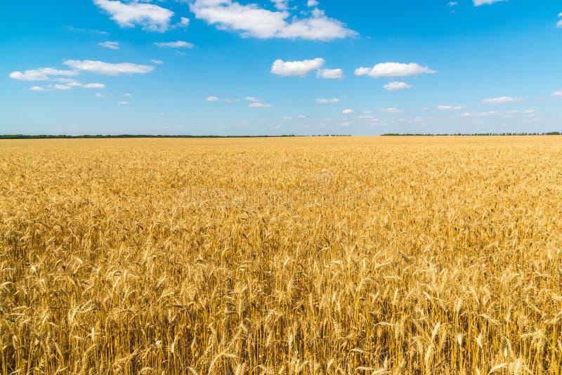 Поле зрелой пшеницы на солнечный день стоковое фото