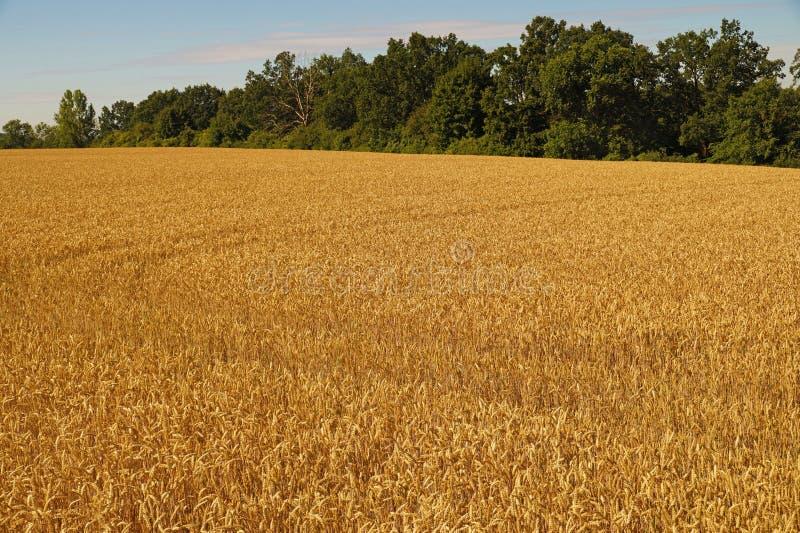 Поле зрелой пшеницы на холме стоковое фото rf